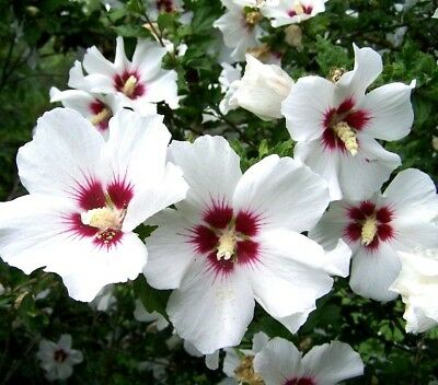 HIBISCUS WHITE RED LARGE Rose Mallow Swamp Moscheutos Native Wildflower 20 Seeds