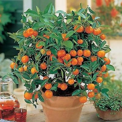 Fruit Mandarin Bonsai Tree Seeds, Citrus seed Bonsai Mandarin Orange Seeds