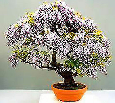 Bonsai Seeds Paulownia princess tree empress tree flower seeds Flowers for home