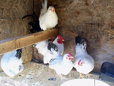 12 COUNT  BLACK TAILED JAPS BANTAM Chicken HATCHING EGGS