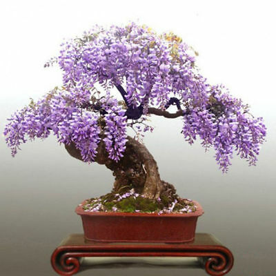 Wisteria seeds rare gold mini bonsai wisteria Flowers for home Garden flowers