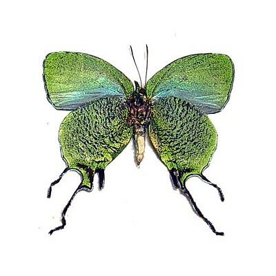 Real Framed Arcas Imperialis Verso Metallic Green Butterfly 6246