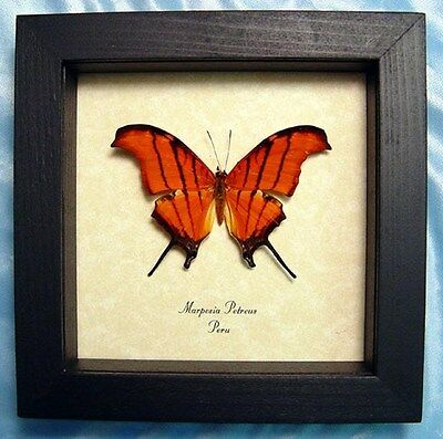 Real Framed Marpesia Petreus Ruddy Daggerwing Butterfly 710