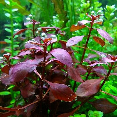 Ludwigia sp. Mini Super Red Live Aquarium Plants Tropical Aquascaping Tank EU
