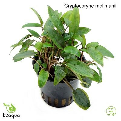 Cryptocoryne mollmanii Live Aquarium Plants Tropical Aquascaping Tank Co2 EU