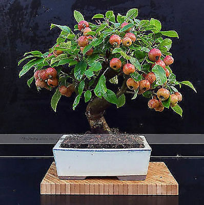 Bonsai Apple Dwarf apple tree for home Bonsai seeds Bonsai for home tasty apple