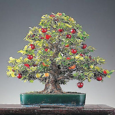 Bonsai Mini Pearl Cherry Seeds Bonsai Tree Seeds Cherry home Gift for home