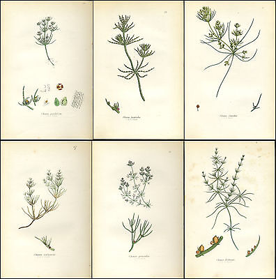 Lot of 6 Beautiful SOWERBY Antique Prints Botanical HORSETAILS 1855 - M3