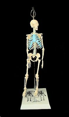 """Brand New 21"""" Mini Skeleton Model With Stand for Anatomy or Art Moveable joints"""