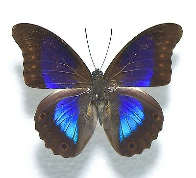Insect Butterfly Prepona deiphile diaziana MALE ULTRA RAREST A1 - A1-