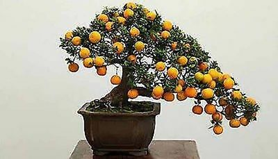 Bonsai Kumquat Seeds orange Patio Potted Fruits Trees Tasty Juicy Orange