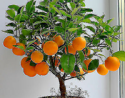 Bonsai seeds Orange Tree Orange for home A little orange tree Delicious orange