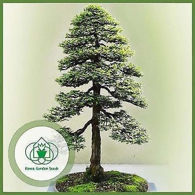 Redwood Seeds Sequoia sempervirens Bonsai TALLEST in the WORLD Evergreen tree