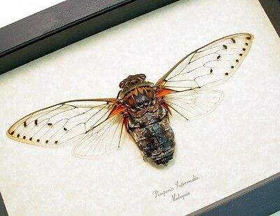 Real Framed Pomponia Intermedia Giant Clear Wing Cicada 2113