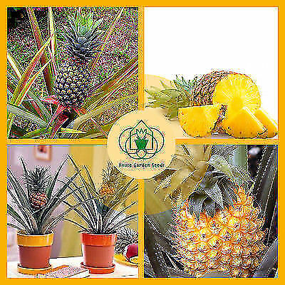 Bonsai pineapple Seeds! Dwarf pineapple seeds, sweet juicy fruit seeds birthday