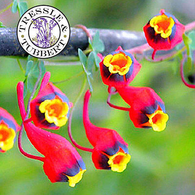 RARE Rare Tropaeolum tricolor Nasturtium Flower - 5 seeds -  UK SELLER