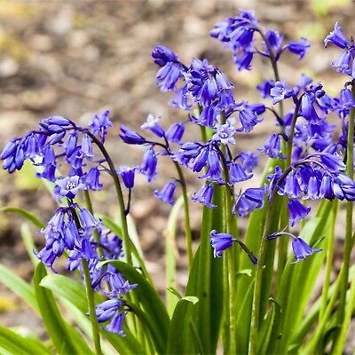 50 ENGLISH BLUEBELL BULBS | Top Quality Freshly Lifted Bulbs Ready To Plant