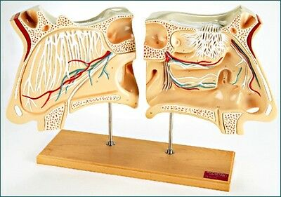 Nose Models Olfactory  Model Anatomical Model Brand New never used,