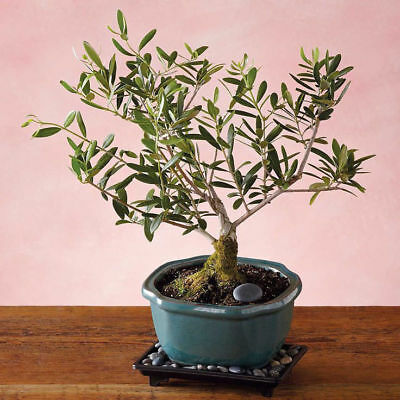 Rare Olive Bonsai Seeds Tree Olea Europaea Seeds, Bonsai Mini Olive Tree gift
