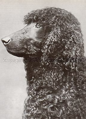 DOG Irish Water Spaniel Portrait (Named), Vintage Print 1930s