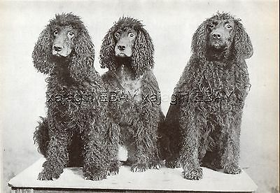 DOG Irish Water Spaniel Trio, Vintage Print 1930s
