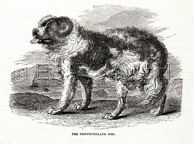 DOG Newfoundland Landseer, Beautiful Antique 1880s Print