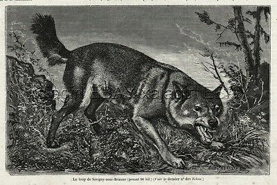 Wolf in France, Giant 96kg (211 lbs) Animal, 1870s Antique Engraving Print