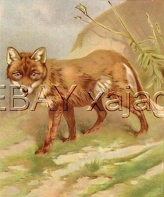 Fox Lovely Large Antique Chromolith 1890s Print