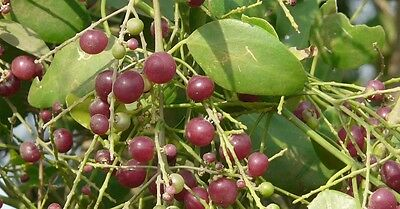 50 Salvadora persica Seeds, Toothbrush Tree, Mustard tree, Salt brush tree Seeds