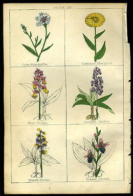 Charming Hand Coloured BOTANY Antique Print 1850 - ORCHIDS  C5