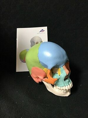 3B Scientific Beauchene Adult Skull Didactic 22 Part Anatomical Medical Model