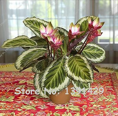 20 pcs Thailand Calathea Flower Seeds, Holiday Peacock Plant, Low Light