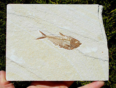 Excellent Fossil Fish - Diplomystus - Eocene age - Green River - USA.Ref:(S.DFw)