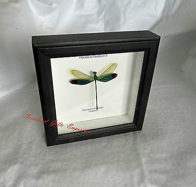 Butterfy Framed - Neurobasis chinensis Emerald Damsel Fly -  moth -  insect