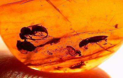Wasp with Stinger, Beetle in Burmite Amber Dinosaur Age 99 Million Years Old