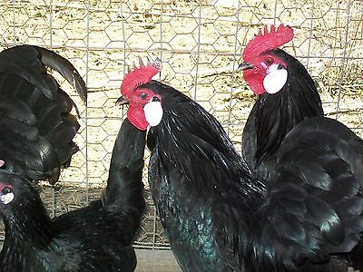18 ct WHITE FACED BLACK SPANISH Bantam chicken hatching eggs