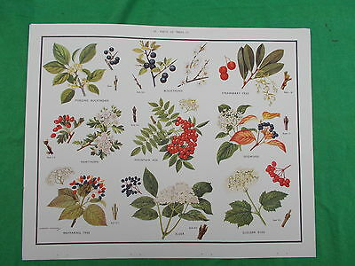 MACMILLAN'S POSTER TREES  etc No 43  NATURE/SCIENCE