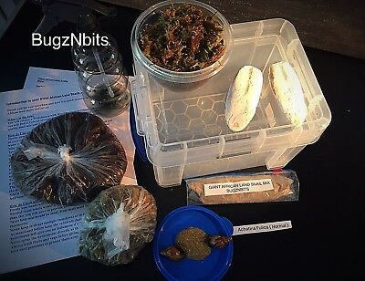 Giant African Land Snails X 2 And Full Set Up