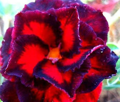 Obesum Desert Rose -Black Bird Rose Exotic Flower Rose Seeds Rare Exotic Plant