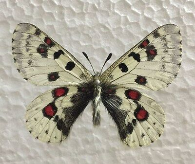 Unmounted butterfly:Parnassius epaphus nomioides MALE