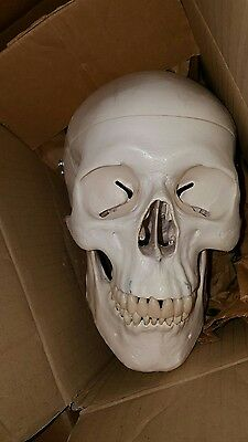 Plastic human skull for medical and dental anatomy. Great quality