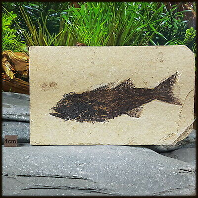 Mioplosus Fish Fossil from USA - Eocene Period - FSE185