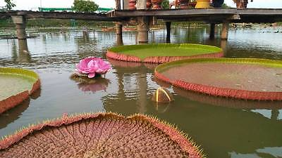 Victoria  Amazonica  10 seeds a lotus in the genus Victoria is the largest lotus