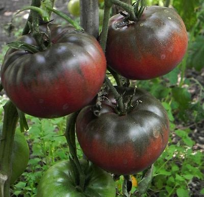 Heritage Heirloom Black Prince Salad Tomato 10 Seeds - Liveseeds -