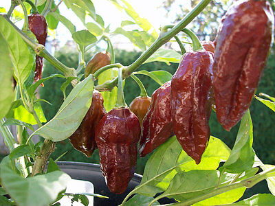 Big Bang Chocolate Naga Chilli Pepper Seeds x 5 -5 free-10 seeds