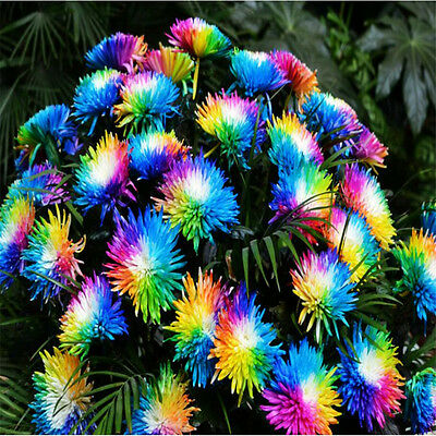 LOCAL AUSSIE STOCK - Rainbow Chrysanthemum Flower Seeds ~10x FREE SHIPPING