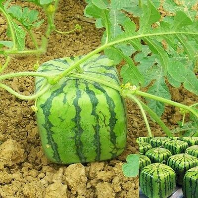 LOCAL AUSSIE STOCK - Square Watermelon, Fruit Seeds ~10x FREE SHIPPING