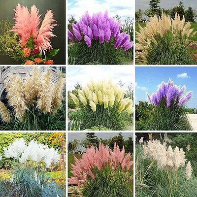 LOCAL AUS STOCK - Yellow, Pink, White, Green, Blue Rare Pampas Grass Seeds ~10x