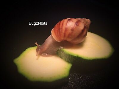 Giant African Land snails X 2, FREE DELIVERY & Cuttlefish