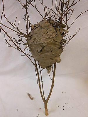 XS Small Paper Wasp Hornets Nest Beehive Bee Hive Taxidermy Western New York